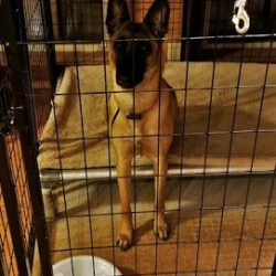 A German Shepherd sitting in a crate at our dog boarding facility - Canine Oasis