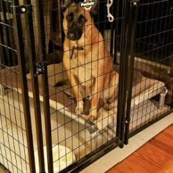 A German Shepherd in a large create at dog boarding - Canine Oasis
