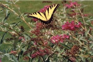 web-butterfly-300x203