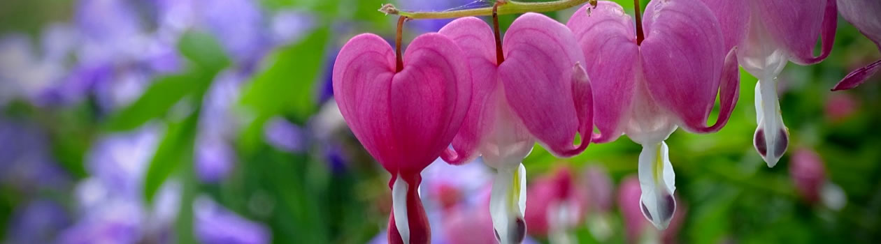 Bleeding heart flowers at dementia care facility in Vermont