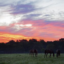 Horses grazing in the field at Clover Hill Farms in Paris