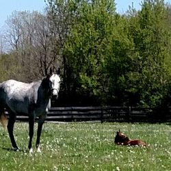 Horses grazing at Clover Hill Farm in Paris, KY