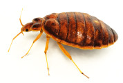 Bed Bugs Pic