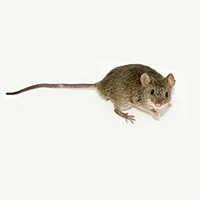 Profile of a house mouse