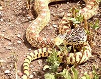 A rattlesnake on the ground
