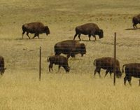 Buffalo grazing in a field