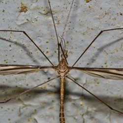 Closeup of a cranefly - Colorado Pest Management
