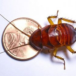 A cricket next to a penny to show scale
