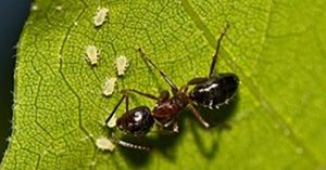 An ant tending aphids on al leaf