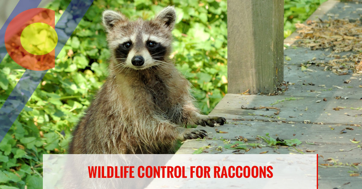 Wildlife control for raccoons