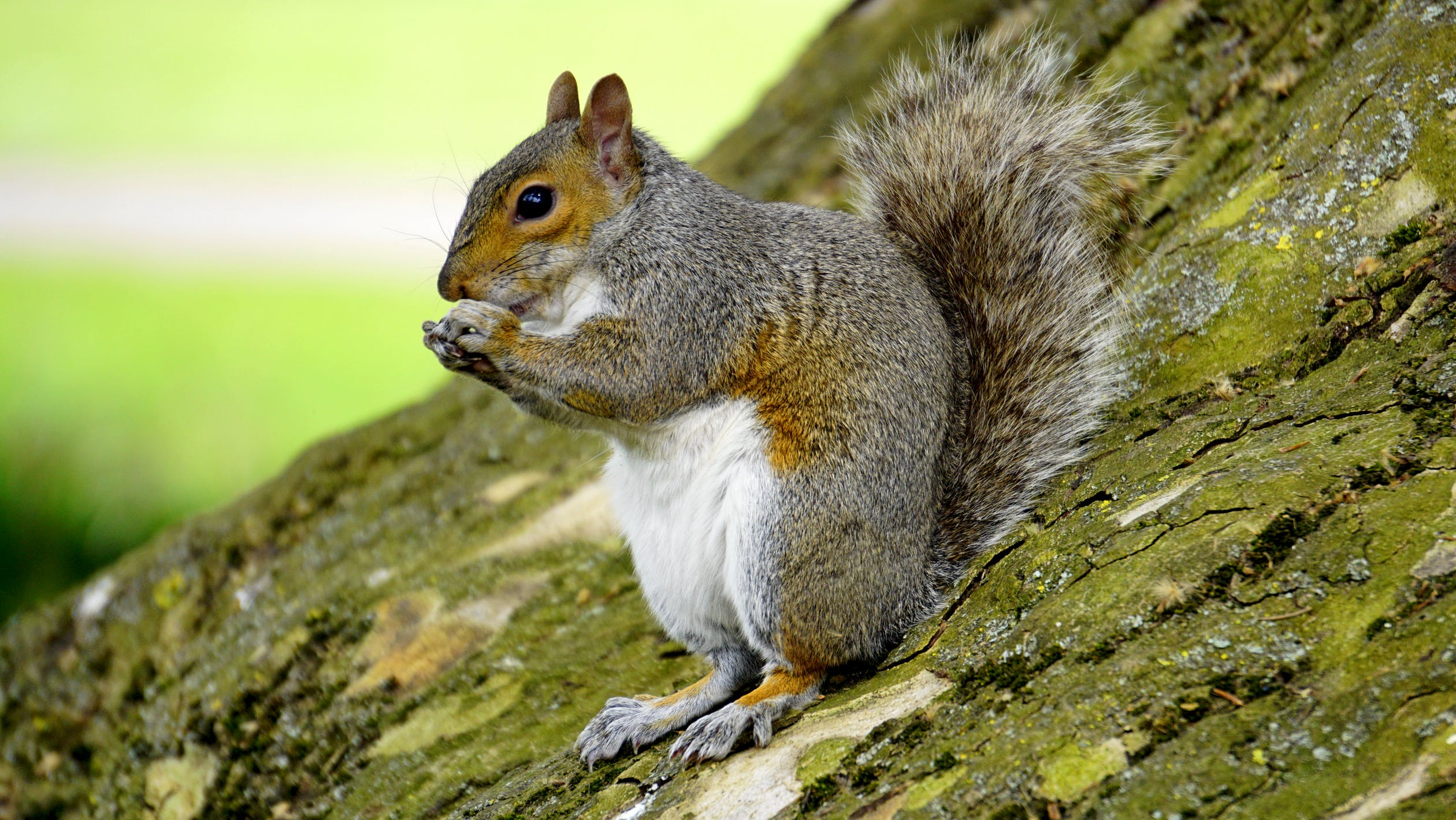 Squirrel control and wildlife management in Denver