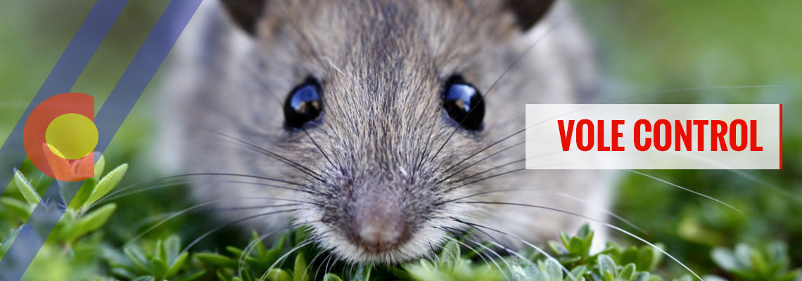The best vole control in Denver