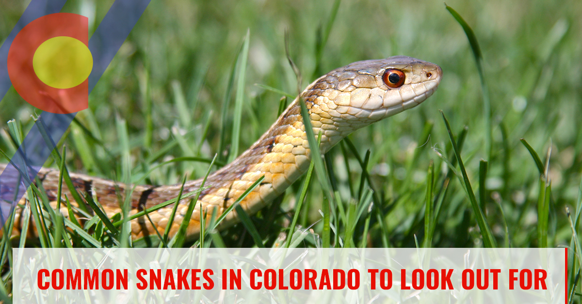 Common snakes in Colorado