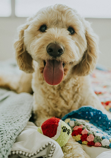 A labradoodle puppy has its tongue hanging out as it sits on a bed with blankets around it and a ball in front of it