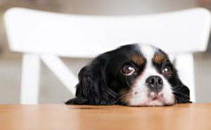 A Cavalier King Charles Spaniel has its head on the table and sits in a chair like a human child