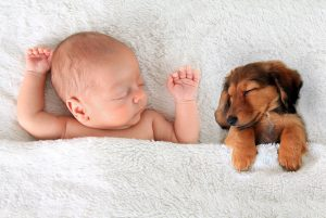 a dachshund puppy and baby sleep under the covers and side by side