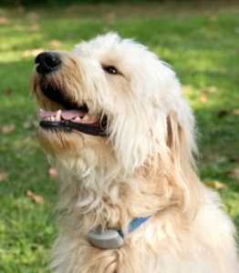 a Goldendoodle wears an ecollar
