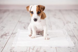 A white and brown puppy sits on an absorbent litter pad