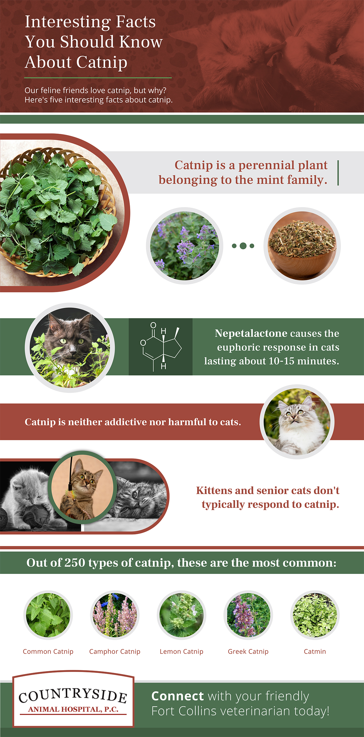 Infographic about catnip