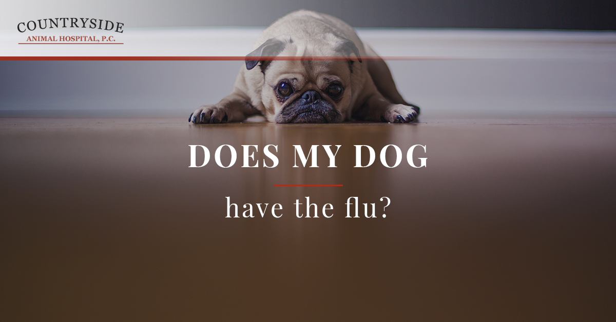 Vet Clinic Fort Collins: Does My Dog Have the Flu?