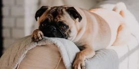 Lazy pug resting on couch