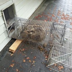 home raccoon removal tn
