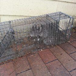 immediate raccoon removal powell tn