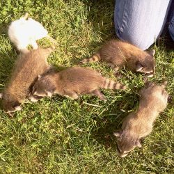 raccoon removal services knoxville tn