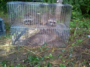 removing raccoons knoxville