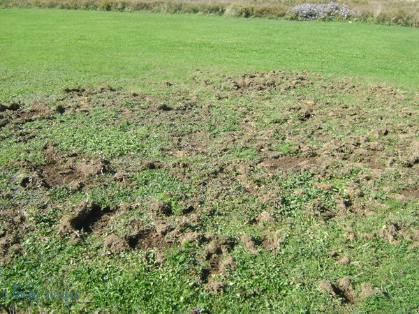 Do You Have Animals Digging For Grubs In Your Lawn?
