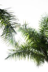 An image of the sun shining through palm trees.
