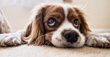 An adorable cocker spaniel lies on the floor looking upward with his huge brown eyes.