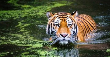 A tiger wades in a lake filled with green moss.