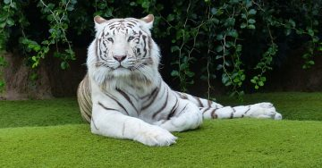 A gorgeous white bengal tiger lounges on a manicured lawn in the sun.