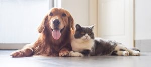 A golden retriever and a cat lay against each other