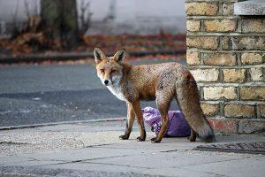 fox-urban