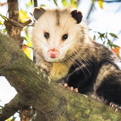 opossum-in-tree