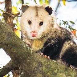 opossum-in-tree