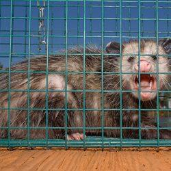 opossum-roar
