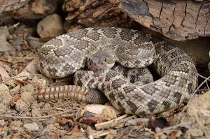 rattlesnake prevention and control
