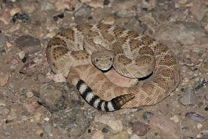Rattlesnake Biology - Request Snake Removal Today | Wildlife Removal