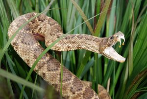 rattlesnake-with-venom