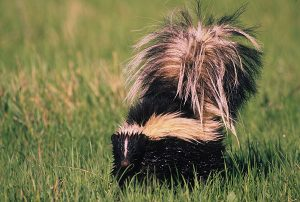 wet-skunk-in-grass