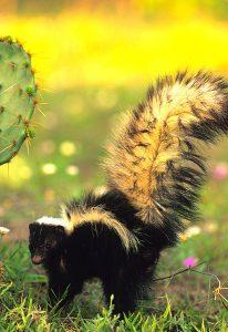 skunk-near-cactus