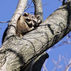 raccoon-resting-in-tree