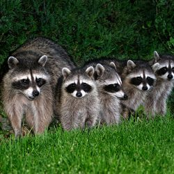 family-of-raccoons-at-night