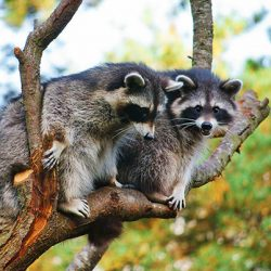 two-raccoons-in-tree