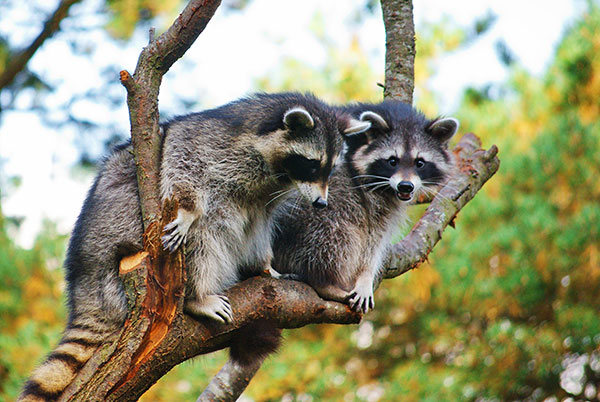 Raccoons In The Attic Raccoon Control Orange County