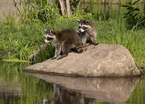 raccoons-on-rocks-near-pond