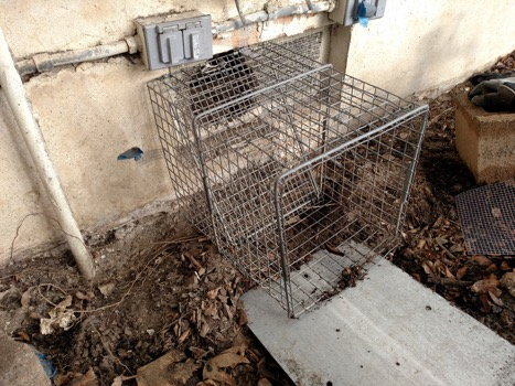 Skunk Removal, One-Way Cage